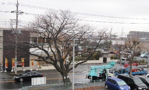伐られる桜