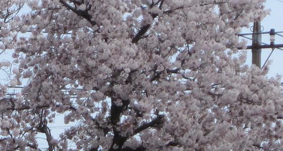事務所より見える桜
