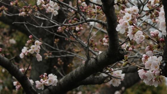 2018年の桜 6分咲き