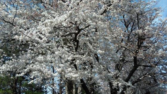 2018年の桜 満開