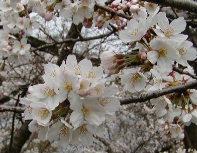 どんだけ桜好きなのか